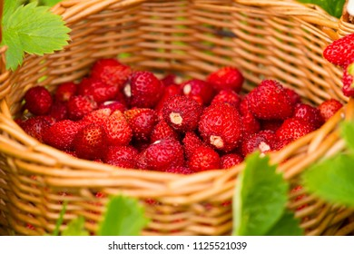 Strawberry plant. Juicy red ripe delicious berries of wild strawberries in a basket in the grass. Summertime scene