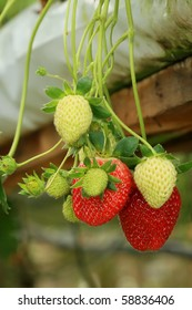 strawberry plant in Mediterranean season