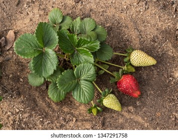 a strawberry plant with one ripe and three green strawberries side by side on a natural soil background