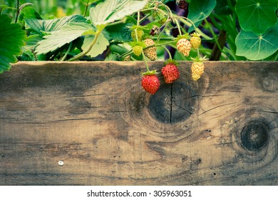 Strawberry plant over a wooden fence.