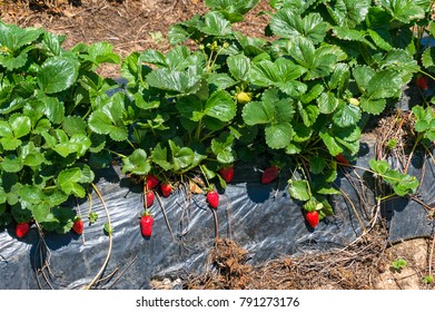 Strawberry plant with red ripe berries on a field. Agriculture scene