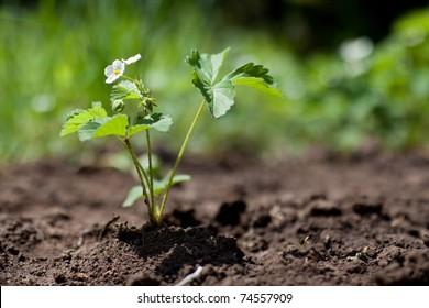 strawberry plant in spring in soil