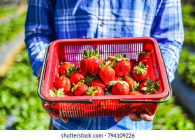 Strawberry Plantation and the Harvist Pick up Activity at Taian, Miaoli, Taiwan
