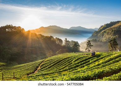 Strawberry plantation with sunrise and mist , Chiang Mai, Thailand.