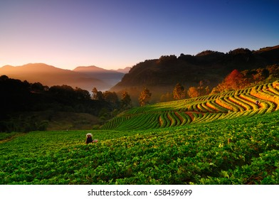 Strawberry plantation of Thailand in the beautiful mountains in the morning.