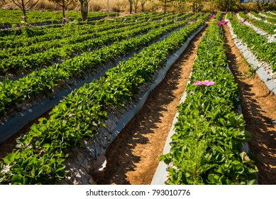 Strawberry planting in the garden at Wang Nam Khiao, Thailand.Planted with organic fertilizer.