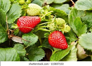 Strawberry plants already ripe to harvest