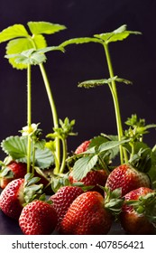 Strawberry plants with bloom and fruits