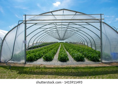 Strawberry plants in the greenhouse from protected cultivation. Location: Germany, North Rhine-Westphalia, Heiden