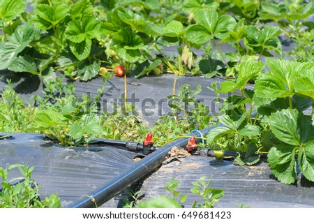 Strawberry Plants Irrigation System Stock Photo (Edit Now) 649681423 on plant agriculture, plant classification system, plant management system, plant border, plant building, plant lighting, plant transport system, plant garden, plant new grass, plant propagation system, plant training system, hydro plant system, plant watering devices, plant water system, diy self watering planter system, plant communication system, sprinkler system, plant hydroponic system, plant watering system, plant greenhouse,