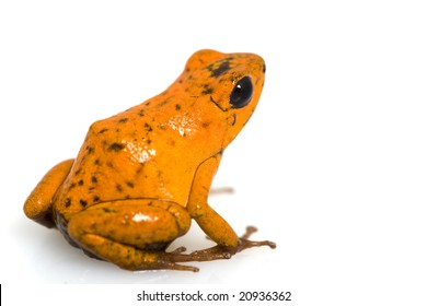 Strawberry poison dart frog (Dendrobates pumilio) on white background.