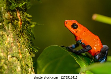 Strawberry Poison Dart Frog (Oophaga pumilio)
