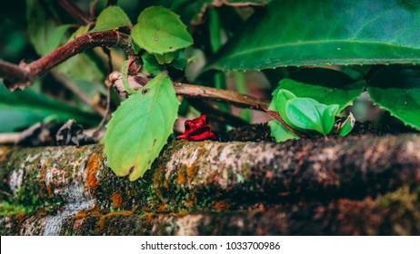Strawberry poison dart frog in the rainforest of Costa Rica