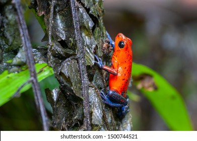Strawberry Poison-Dart Frog (Oophaga pumilio) on a tree in tropical rainforest, Costa Rica