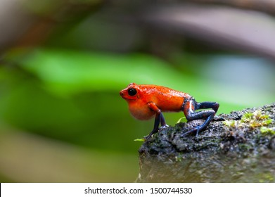 Strawberry Poison-Dart Frog (Oophaga pumilio) - male calling, La Selva Biological Station, Costa Rica