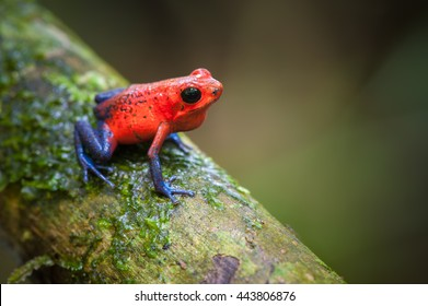 Strawberry Poison-Dart Frog (Oophaga pumilio), La Selva Biological Station, Costa Rica