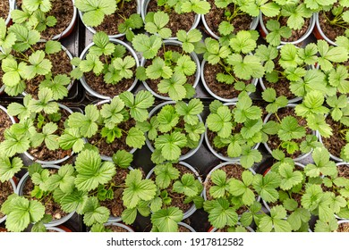 Strawberry seedlings in pots growing in a garden nursery. many young plants with green leaves for planting.