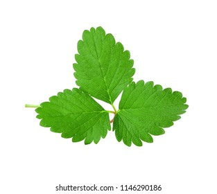 Strawberry Single green leaf isolated on white background