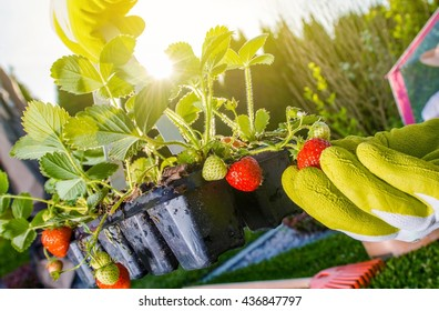 Strawberry Summer Cultivation Concept Photo. Cultivation Strawberries at the Backyard.