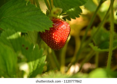 Strawberry in a sunlight