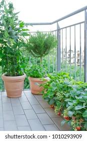 strawberry tomato rosemary plants pots balcony