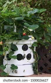 Strawberry tower made from 5 gallon bucket filled with  filled with potting soil inserted with strawberry plants.  Fertilized with Alaska Fish Fertilizer