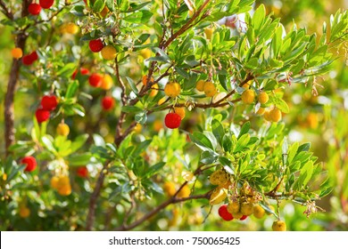 Strawberry tree, Arbutus.
