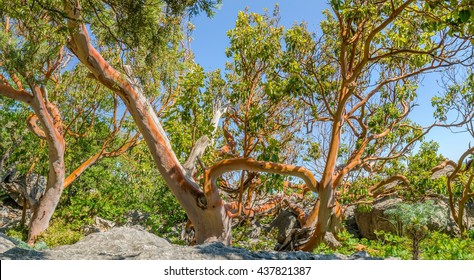 Strawberry tree (Arbutus or Pacific madrona, madrone) - evergreen tree with rich orange-red bark. Crimea.