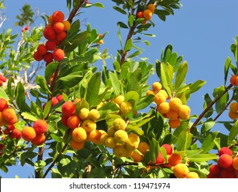 A strawberry tree (arbutus unedo) an evergreen with mature fruits