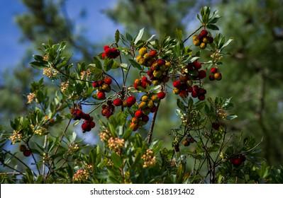 Strawberry Tree - Corbezzoli sull'albero