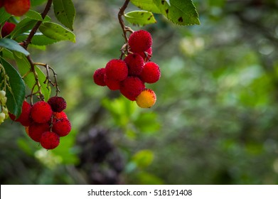 Strawberry Tree - Corbezzolo