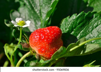 Strawberry Tree In The Garden Of Thailand