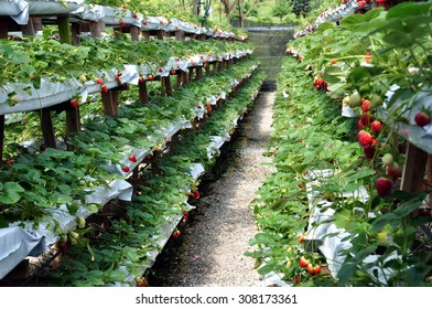 strawberry trees in white plastic planting bags in rows of multistory wooden shelves