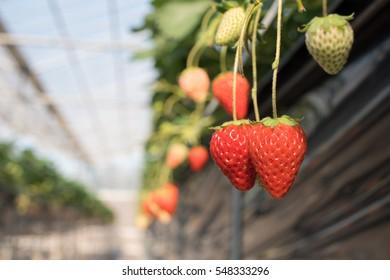 Strawberry in vinyl greeenhouse