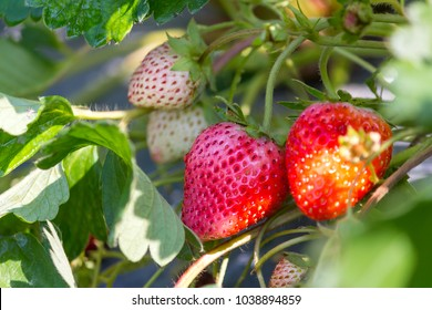 Strawberry,Strawberries in the plots.