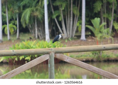 Straw-necked ibis perched on the wooden rail of a bridge over a man-made lake at the Adventure Park outside Port Moresby, Papua New Guinea (PNG).