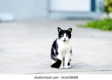 Stray black white cat with green eyes sitting down on sidewalk pavement driveway street in Sarasota, Florida