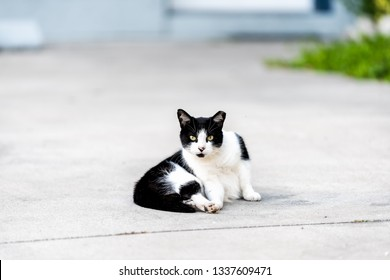Stray black and white cat with yellow eyes lying sitting on on sidewalk street in Sarasota, Florida looking straight at camera