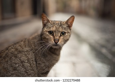 9984689ac1 stray cat portrait - tabby turkish stray cat looking at camera in the old  town of