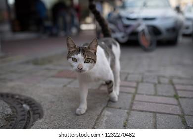 913504bdb0 stray cat walking towards camera - tabby white turkish stray cat crossing  the street in antalya