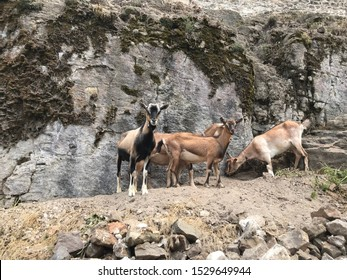 Stray curious goats struggling or playing or resting in the wild. Typical environments for these animals hill stones and steep slopes. Free animals