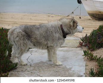 A stray dog is checking out a quiet part of the beach in a poor neighborhood in Faro Portugal outside the tourist season. Many feral animals roaming the area freely abandoned by their previous owners.