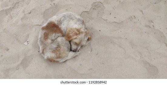 Stray dog sleeping on the beach sand.