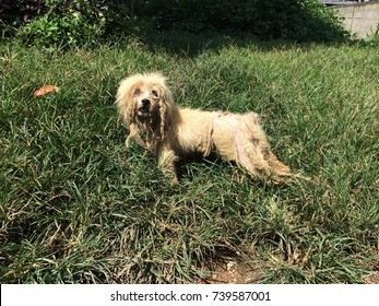 A stray dog stands on a green meadow and looks this way. Old brown dog is leprous. Today, stray dogs are increasing every day because people leave it.