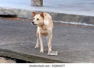 stray dog at a temple of Thailand.