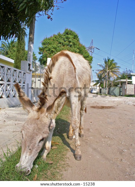 Stray donkey on suburbian mexican gravel road