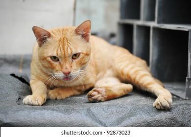 Stray Ginger Cat