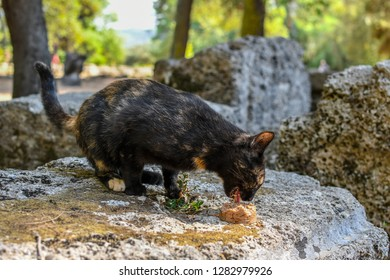 A stray short haired tortoiseshell cat eats a can of food inside the ancient ruins of Olympia, Greece.