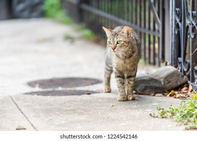 Stray tabby cat with green eyes walking on sidewalk streets in New Orleans, Louisiana by metal fence