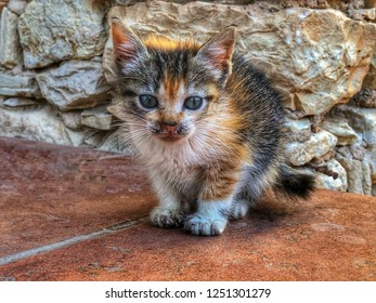 Stray three week old tricolour calico tortoiseshell kitten cat in Morocco